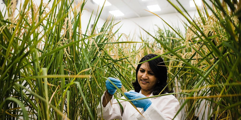 A student researcher examines rice plant in a plant growth chamber