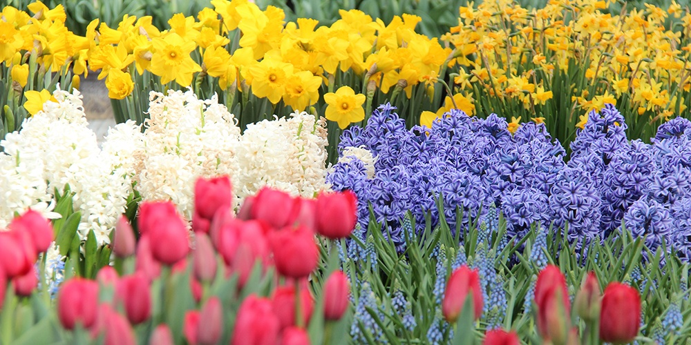 Flowers from the bulb research project are in full bloom at the Cornell greenhouses