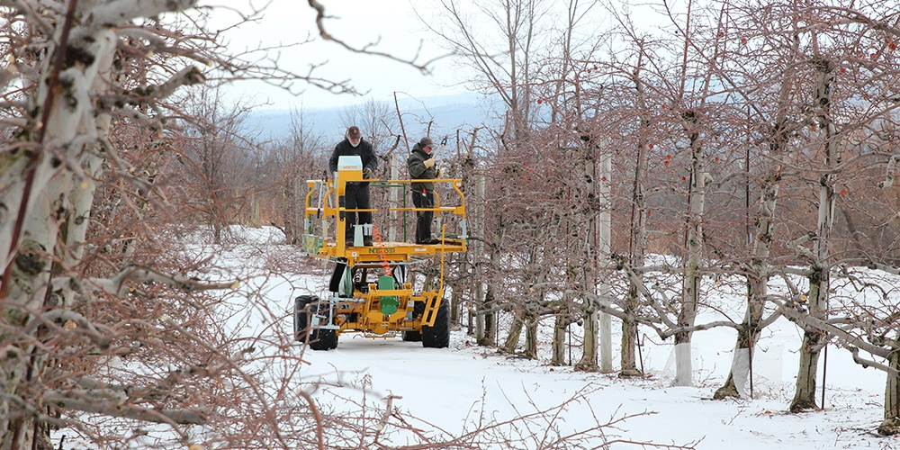 Pruning apple trees from a motorized platform at the Cornell Orchards