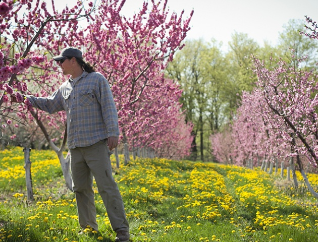 Cornell Orchards manager Eric Shatt inspects apple tree blossoms