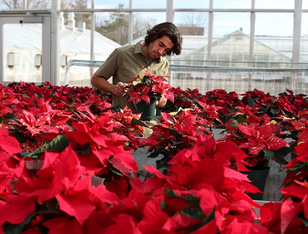 Greenhouse grower cares for the poinsettia in a Cornell greenhouse