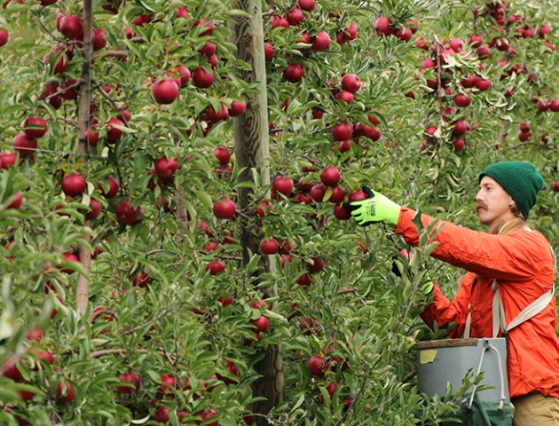 A man picking apples at the Cornell Orchardse