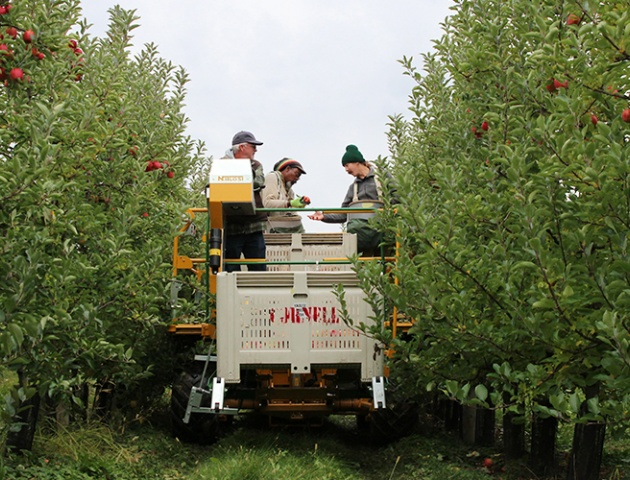Men on a mobile harvest platform harvesting apples