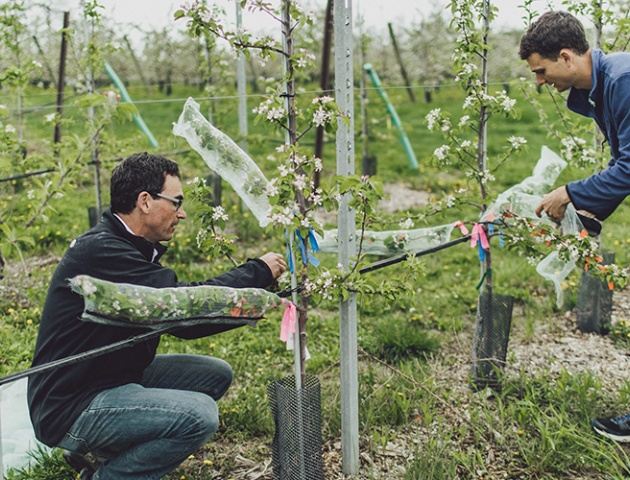 Researchers are working on apple trees at the Cornell Orchards