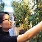 Postdoctoral scientist Ning Zhang inspects CRISPR/Cas-edited tomatoes in a greenhouse at the Boyce Thompson Institute