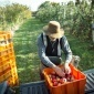 Appel harvest at the Cornell Orchards