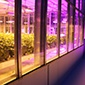 One of Cornell's greenhouses, flooded by pink growing lights