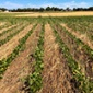 Rows of soybeans are thriving on a research plot covered with crimped rye